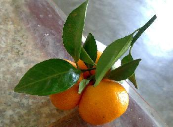 橘柠檬_橘子叶的功效与作用 - 菜瓢谷
