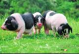 宁乡猪的特点