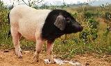 金华猪的优点