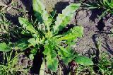 薊菜的功效與作用
